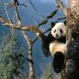 Le PandaGéant est originaire des régions centre-ouest et sud-ouest de la Chine. C'est un animal unique, connu pour sa fourrure noire et blanche et ses taches noires autour des yeux. […]