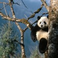 The giant panda bear is originally from central-western and south western parts of China. It is a unique animal, popular for having a black and white fur and black patches […]