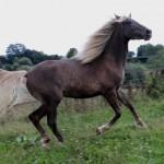 etalon-rocky-mountain-horse-elevage-rocky-mountain-beryl-fils-d-hermes-de-valbertier-poulain-rocky-mountain-horse