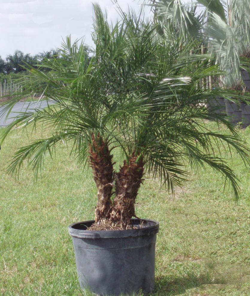 Palm-Phoenix-roebelenii
