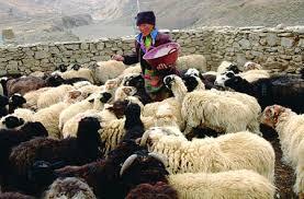 tibetan herders